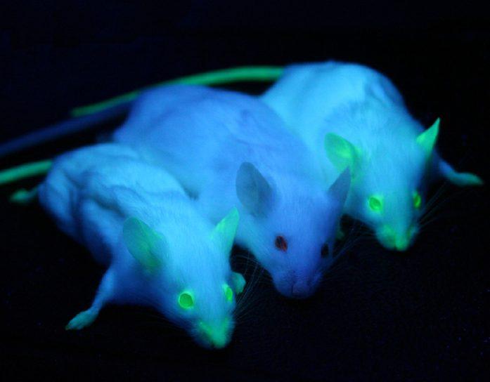 GMO_Mice