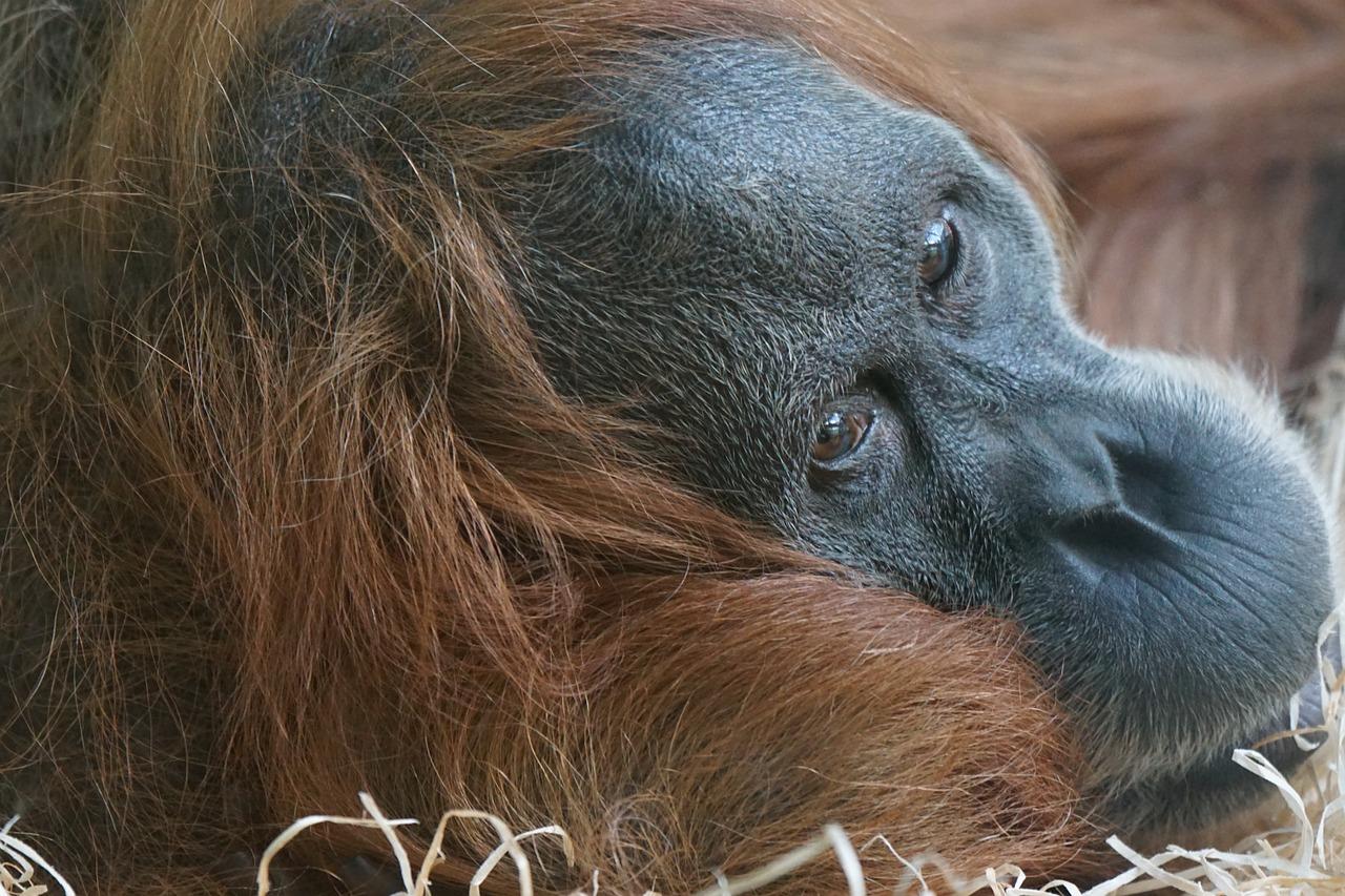 пальмовое масло и орангутан